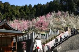 inuyama大縣10梅树