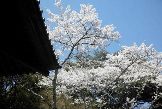 写真(C)随求堂と桜